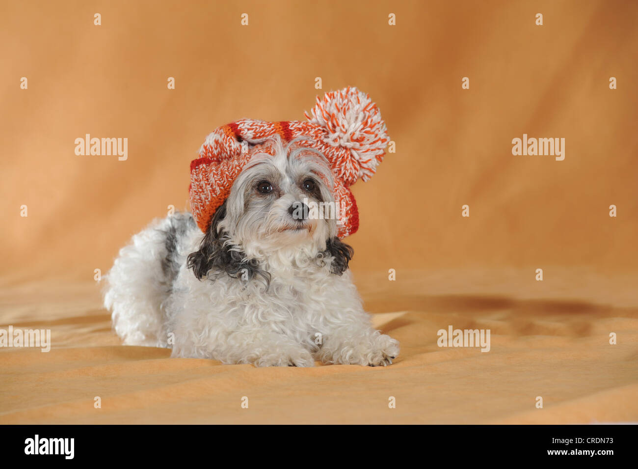 Chinese Crested Hairless Dog, Powderpuff, lying, wearing a red and white cap - Stock Image