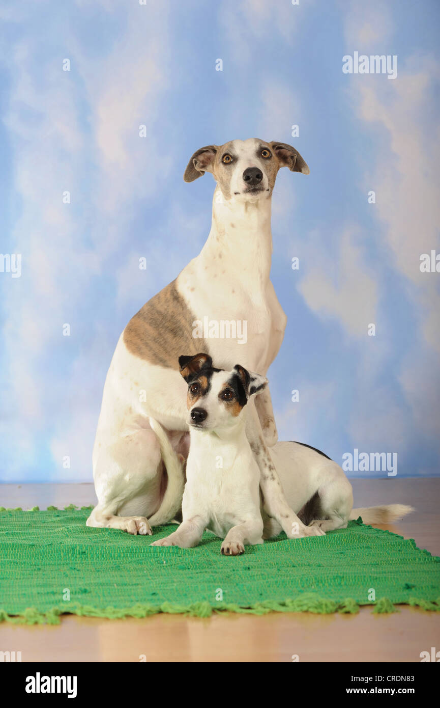 Whippet, sitting, and Parson Russell Terrier, lying Stock Photo