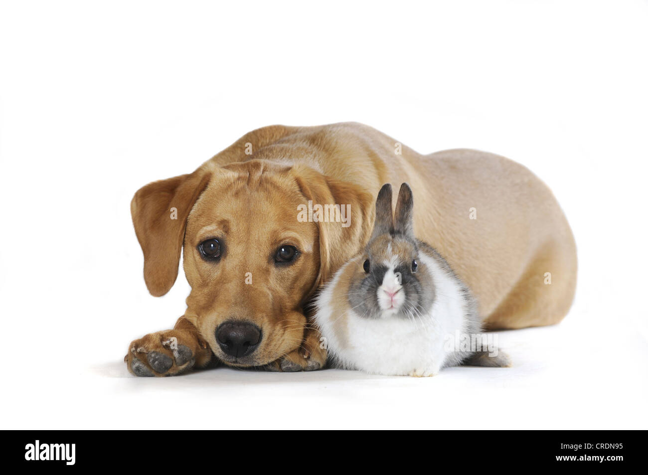Labrador Retriever puppy, yellow coloured, and a mottled Dwarf Rabbit - Stock Image