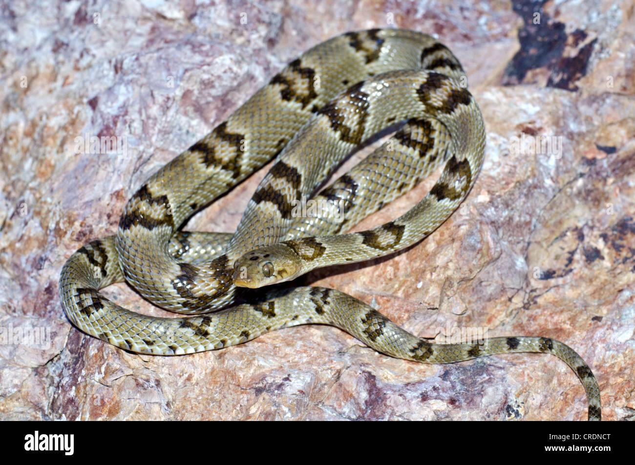 Chihuahuan Lyre Snake, (Trimorphodon vilkonsoni), Black Gap Wildlife Management Area, Brewster county, Texas, USA. - Stock Image