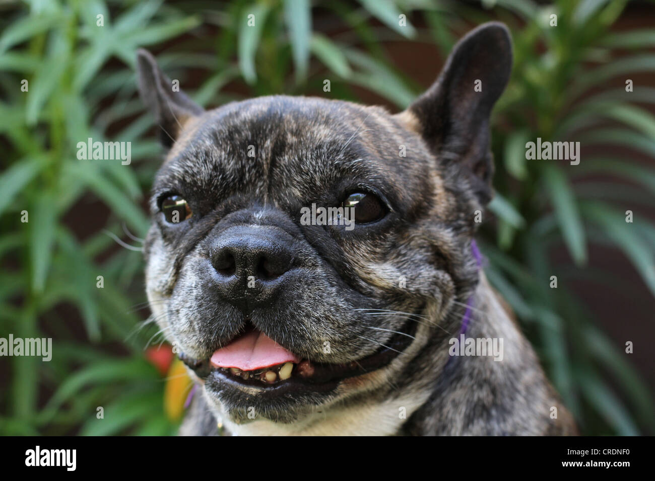 A close up of the face of a brindle colored French Bulldog. - Stock Image