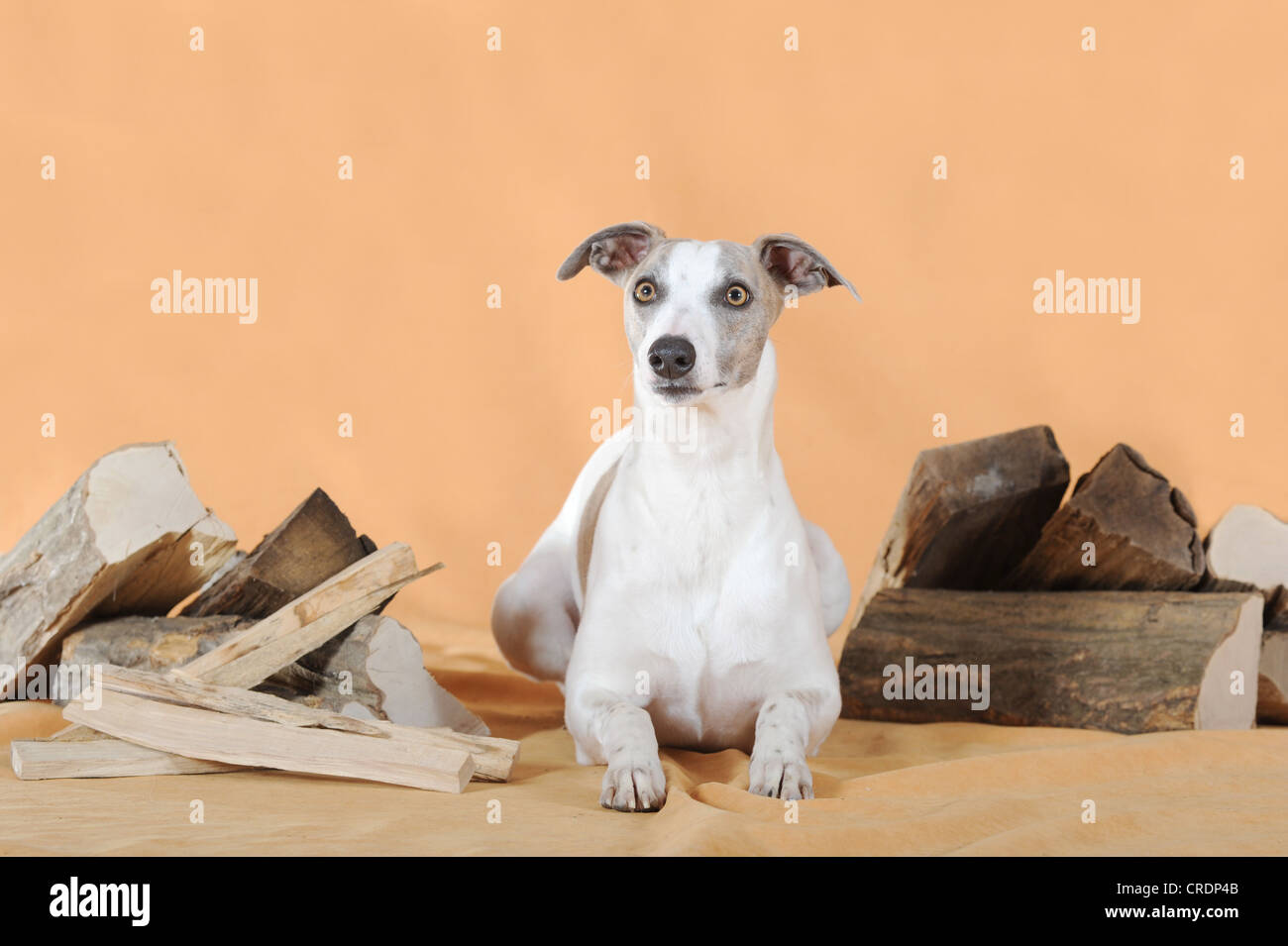 Whippet lying between logs - Stock Image