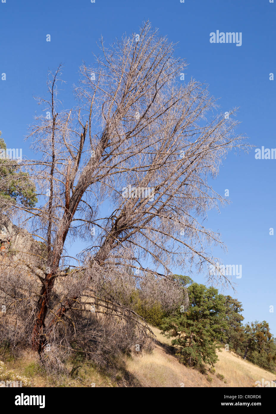 Dead tree on hillside - Stock Image
