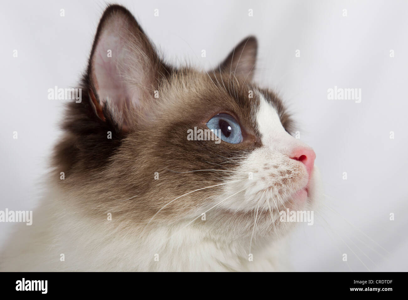 Ragdoll Cat Breed Stock Photo 48862395 Alamy