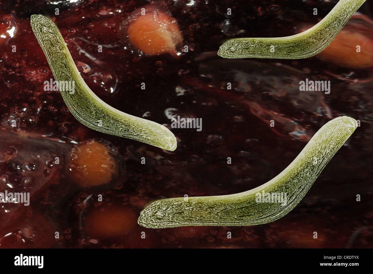 Bacteria in the intestine, scientific illustration Stock Photo