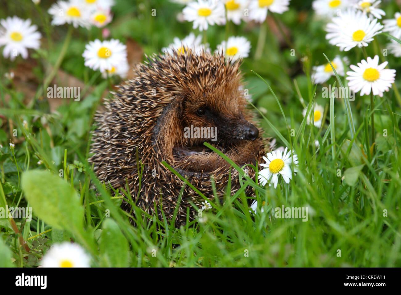 Western hedgehog, European hedgehog (Erinaceus europaeus), on meadow with daisies - Stock Image