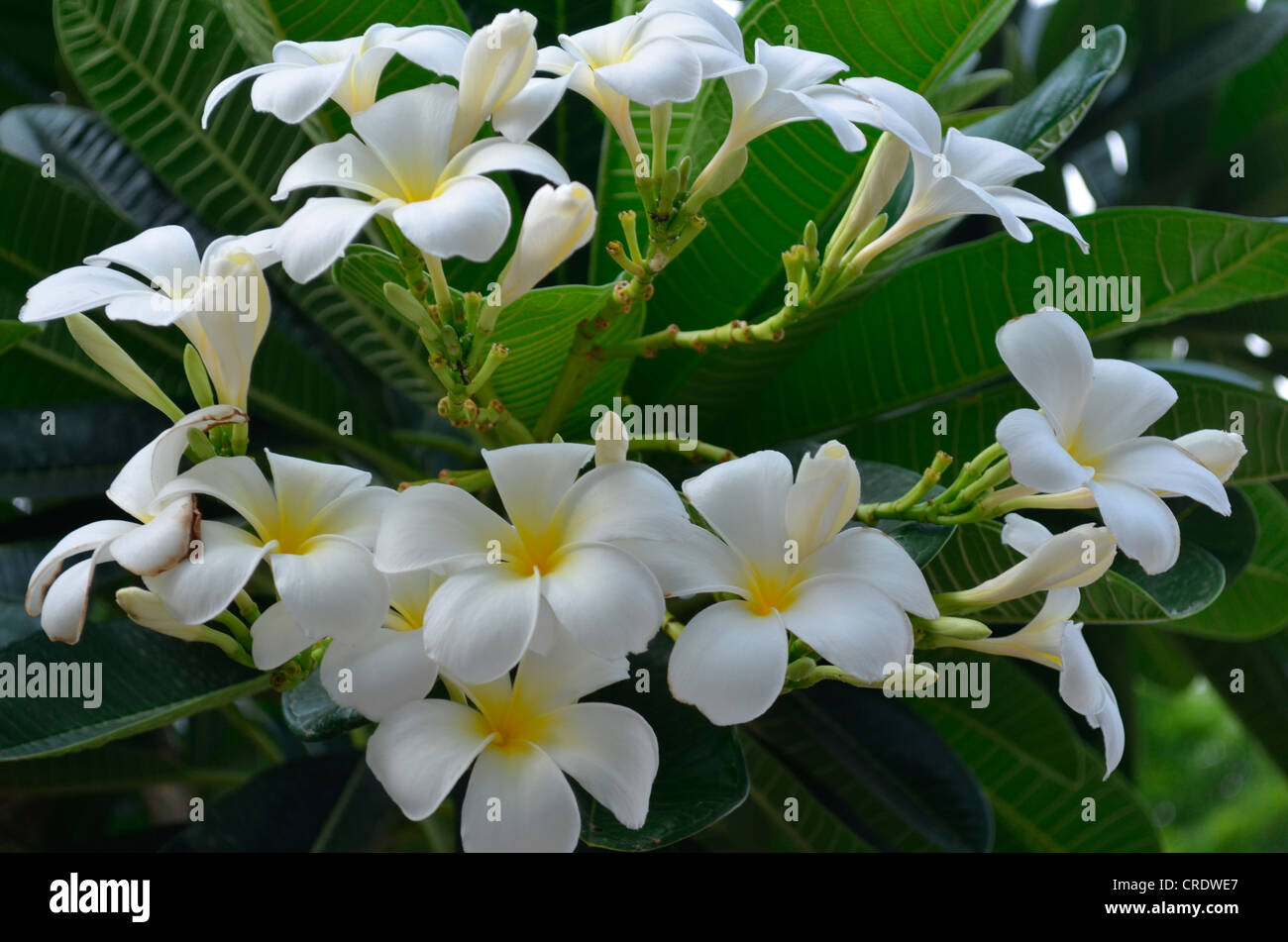 plumeria (frangipani) flowers Stock Photo