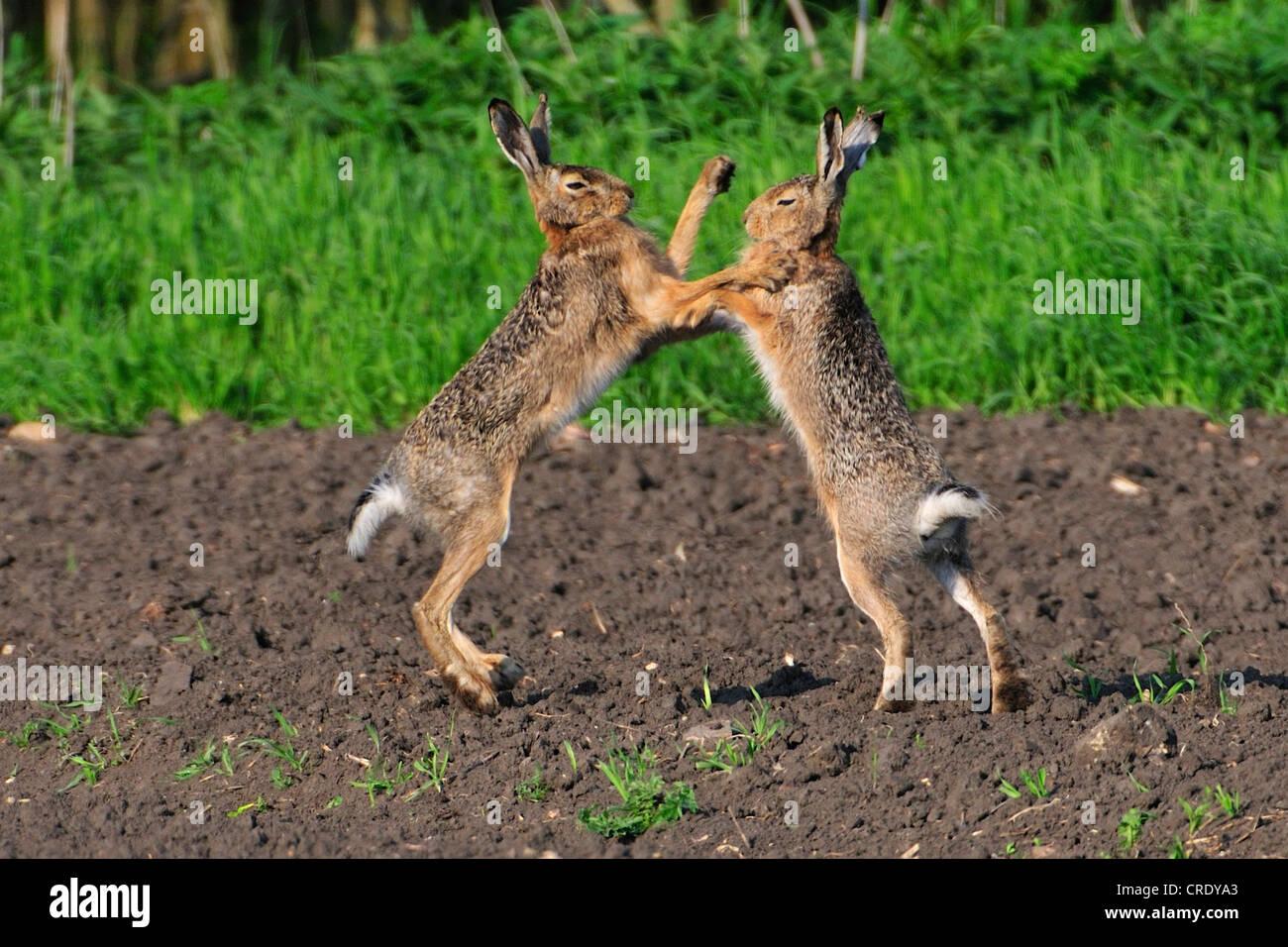 European hare (Lepus europaeus), boxing during the mating season, Austria, Neusiedler See - Stock Image