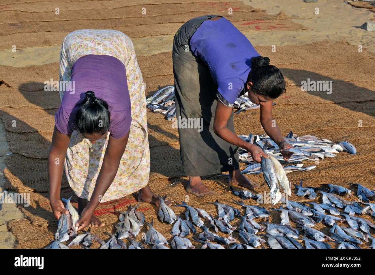 Dried fish, fish drying on coconut mats on the beach, women's work, Negombo, Sri Lanka, South Asia, Asia - Stock Image