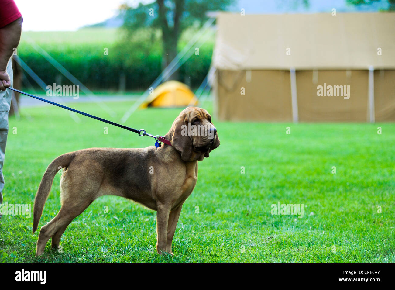 BLOODHOUND SEARCH AND RESCUE DOG - Stock Image