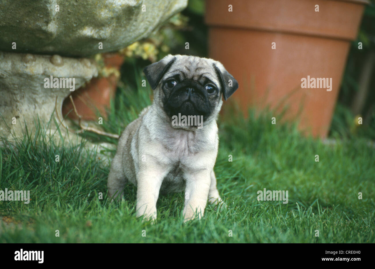 ADORABLE PUG PUPPY SITTING IN YARD - Stock Image