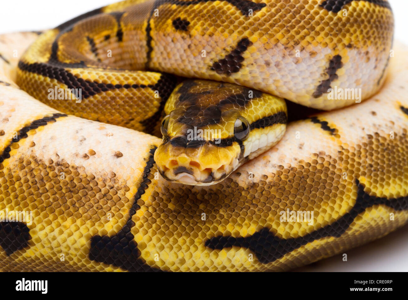 Snake Breeding Stock Photos & Snake Breeding Stock Images - Alamy
