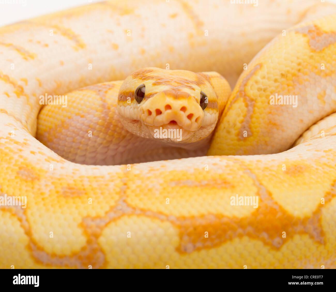 Royal Python (Python regius), Spider CG, male, Willi Obermayer reptile breeding, Austria - Stock Image