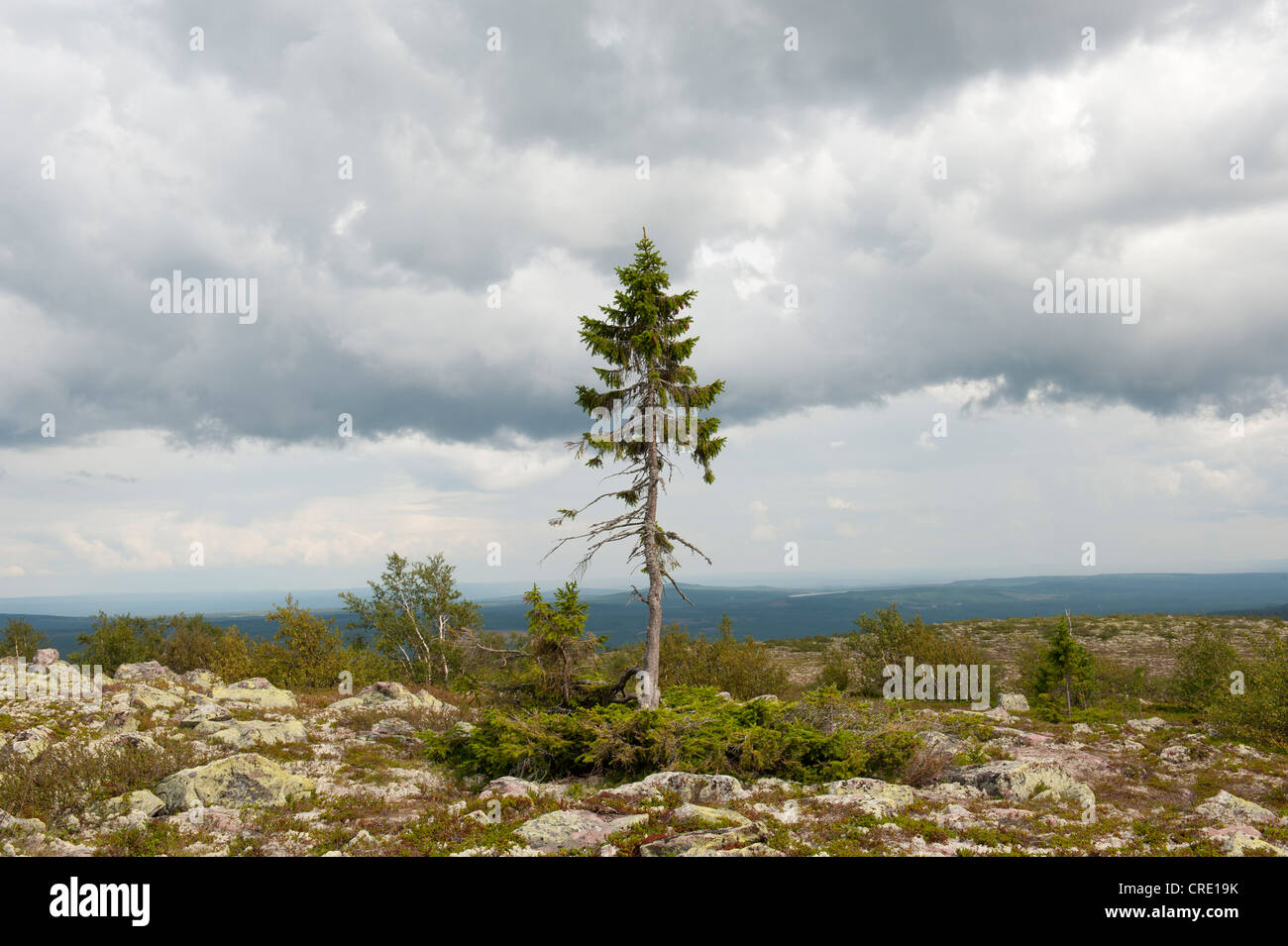 Old Tjikko, oldest tree in the world, 9550 years, Norway Spruce (Picea abies), knee timber, Fulufjaellets National - Stock Image