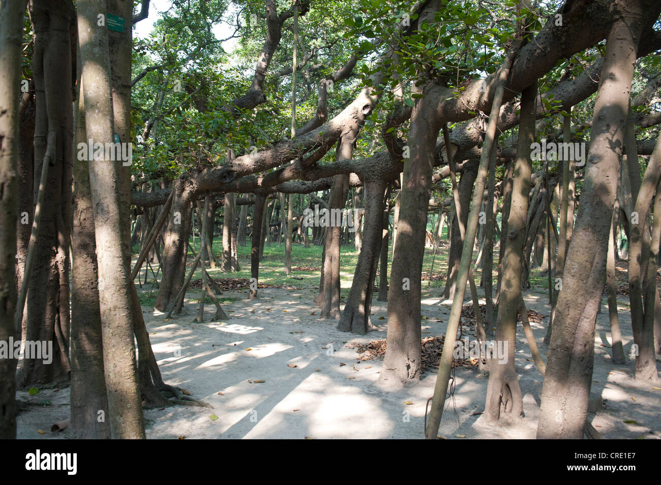 Aerial roots of the Great Banyan, a Banyan Fig (Ficus benghalensis), the world's largest fig tree, Acharya Jagadish - Stock Image