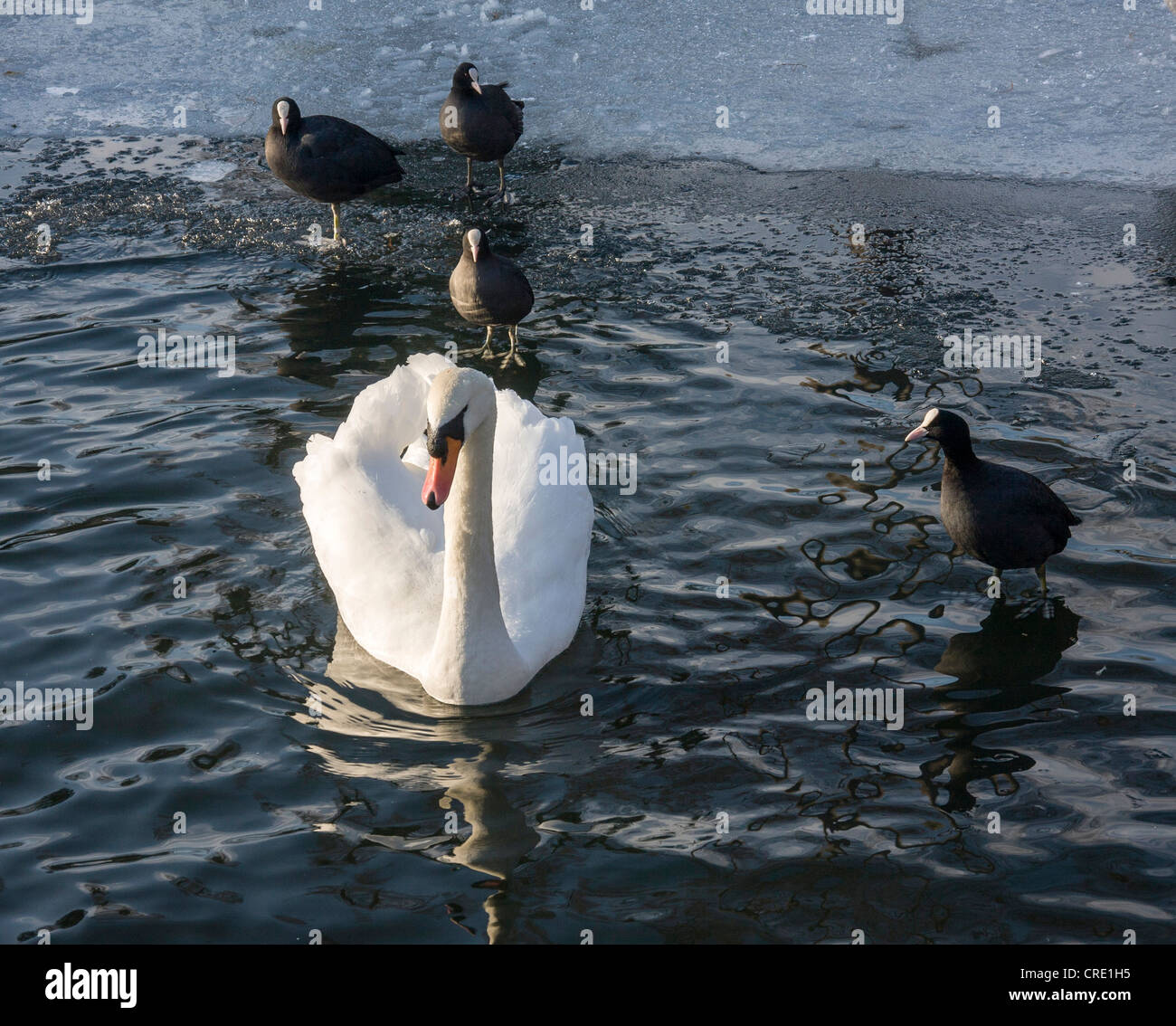 A swan,Cygnus olor, and coots swimming in  icy pond in winter Stock Photo