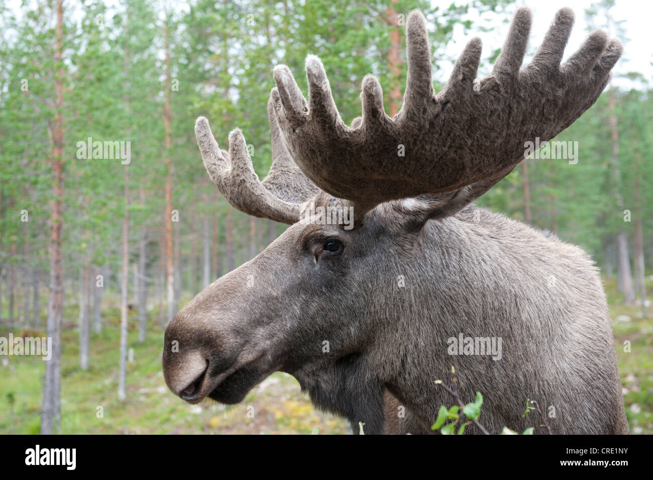 Moose (Alces alces), 7-year-old bull moose with large antlers covered in velvet, portrait, Moose Park - Stock Image