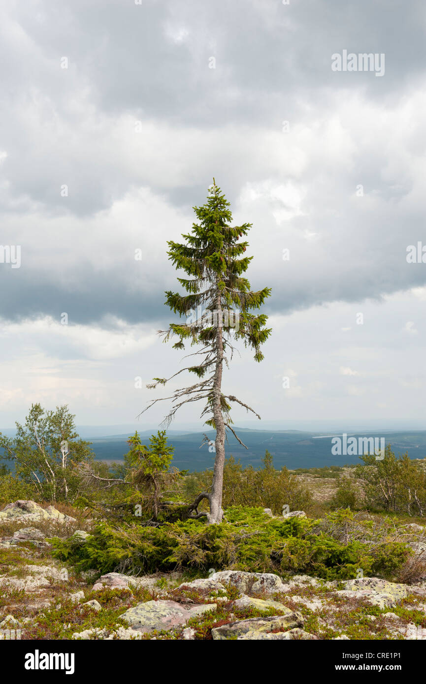 Old Tjikko, the oldest tree in the world, 9550-year-old Spruce (Picea abies), Krummholz, Fulufjaellets National - Stock Image