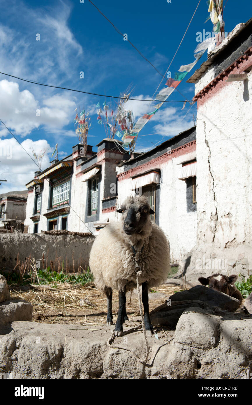 Domestic sheep (Ovis orientalis aries) standing in the historic district, houses with flat roofs, Gyantse, Himalaya - Stock Image
