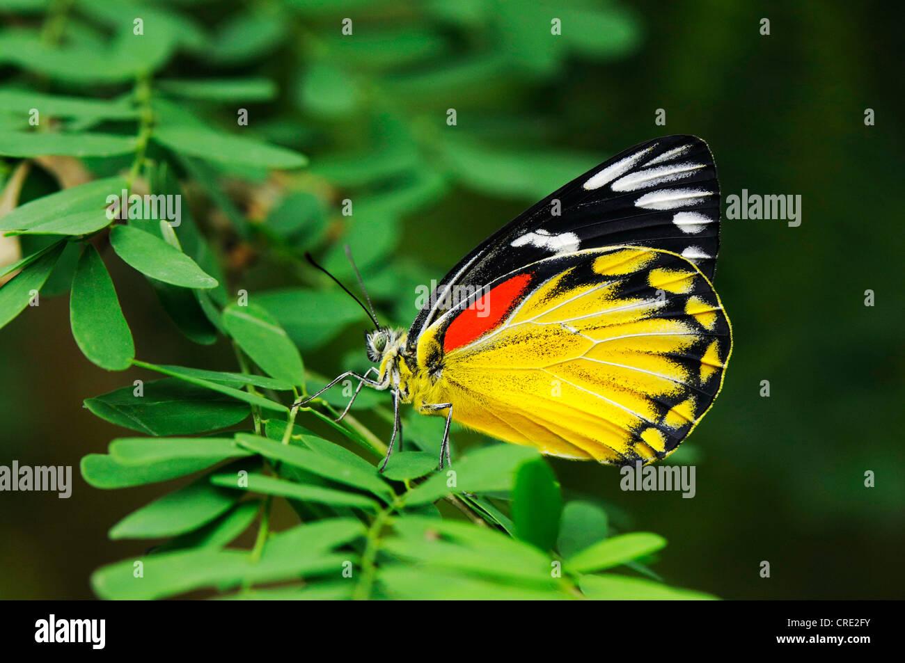 Red-spot Jezebel (Delias descombesi), Papiliorama, Kerzers, Switzerland, Europe - Stock Image