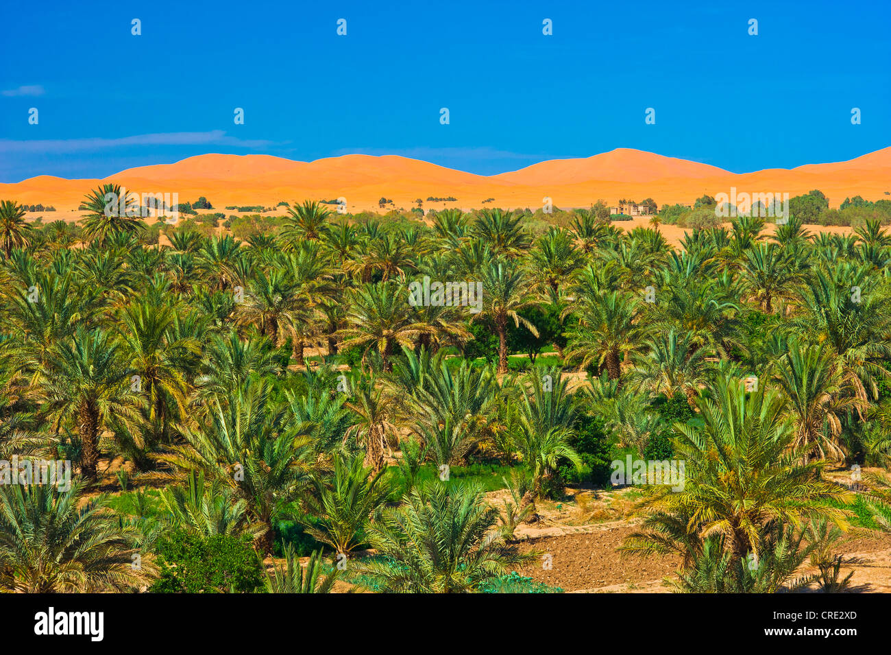Palm grove, Date palms (Phoenix) in front of the sand dunes of Erg Chebbi, Sahara, southern Morocco, Africa - Stock Image