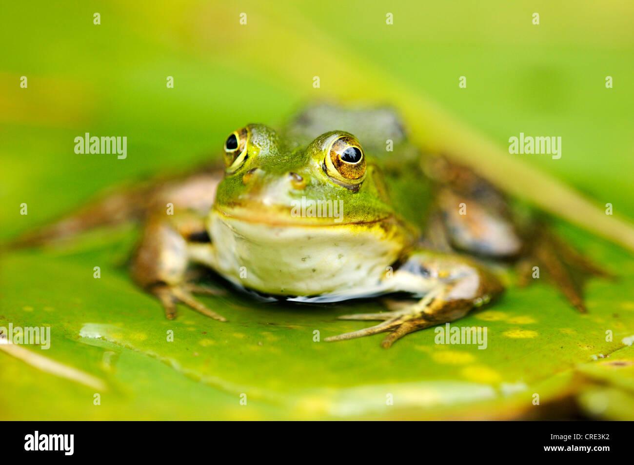 Pool Frog (Rana lessonae), sitting on a leaf, Selegermoor bog, Zurich, Switzerland, Europe - Stock Image