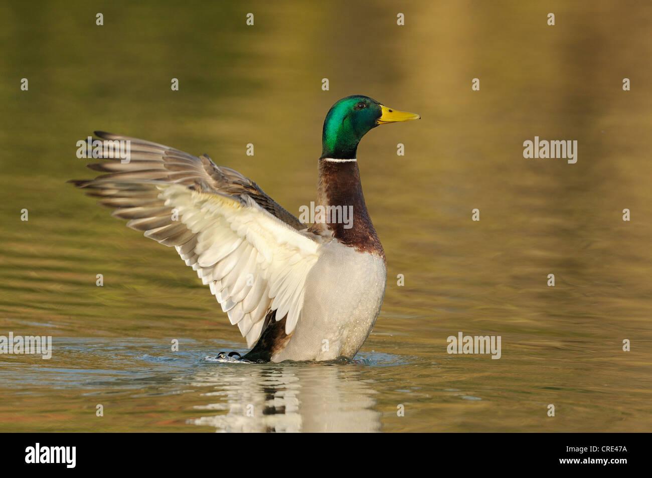 Mallard (Anas platyrhynchos), drake shaking the wings - Stock Image