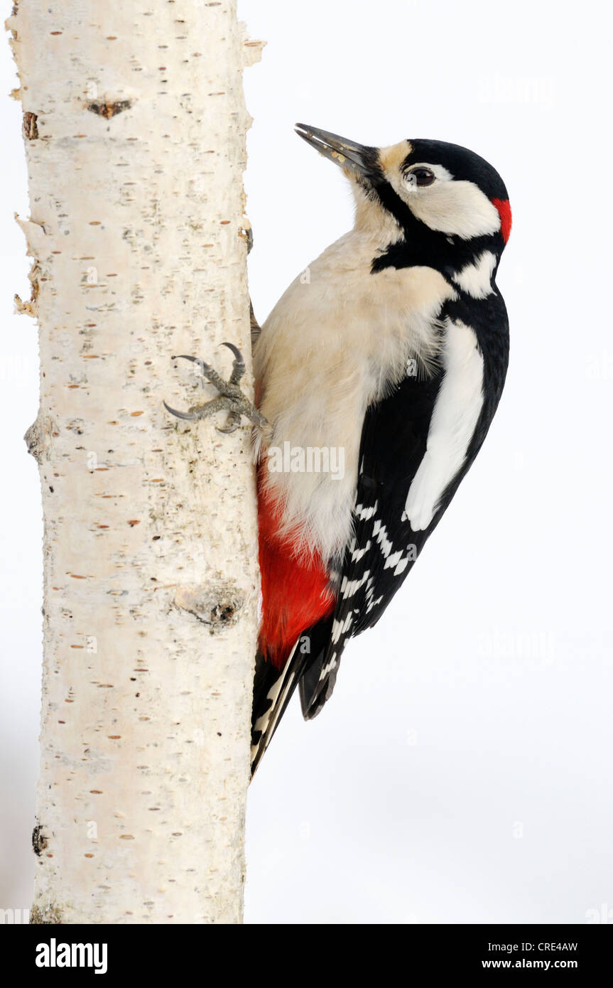 Great Spotted Woodpecker (Dendrocopos major), foraging on birch - Stock Image