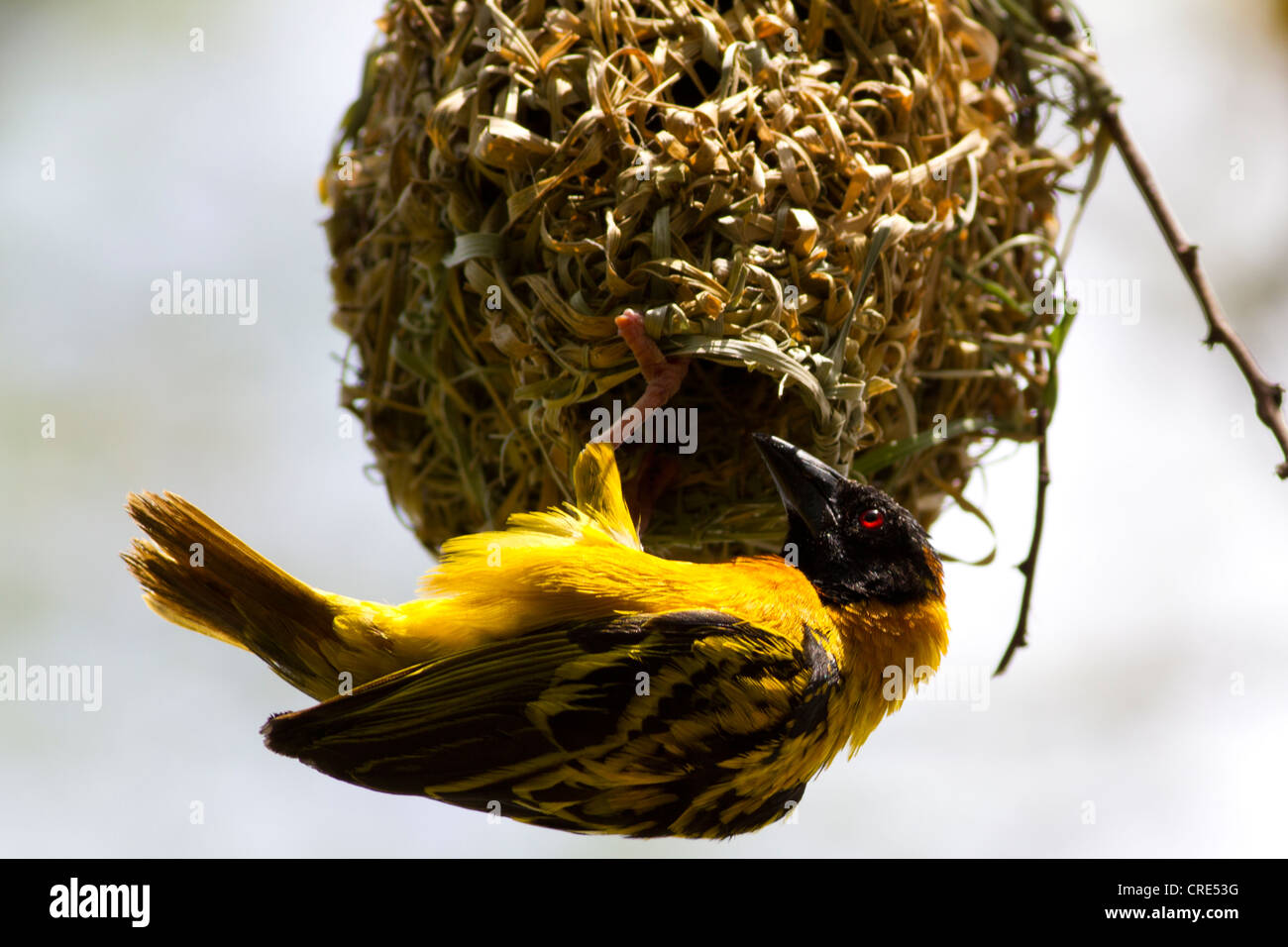 Black-headed Weaver (Ploceus melanocephalus), aka Yellow-Backed Weaver building a nest at Queen Elizabeth National - Stock Image