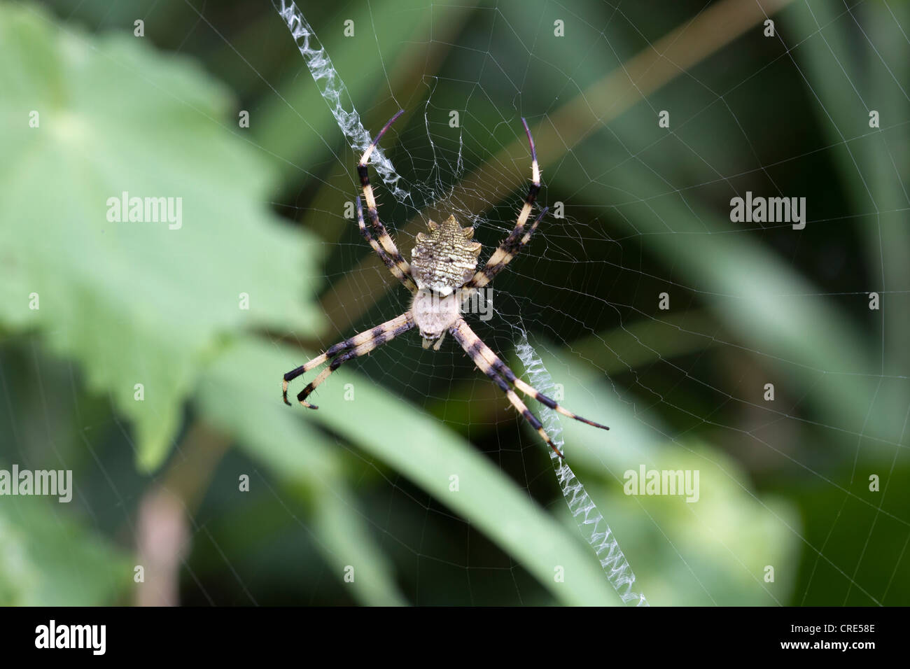 Araneidae Orb-weaver spider on web, Lake Mburo, National Park, Uganda - Stock Image