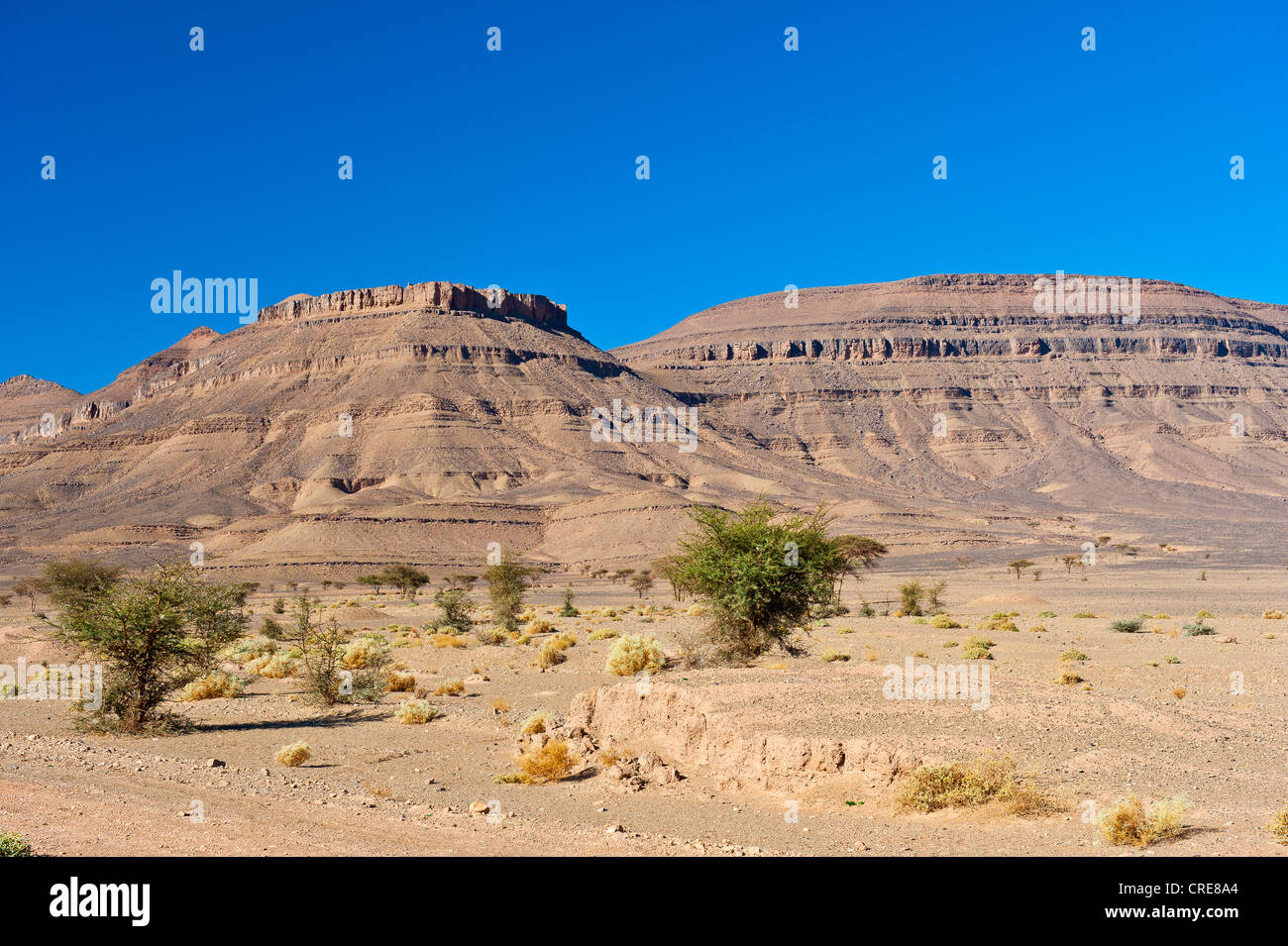 Acacias and thorny plants in a dry rocky desert with table mountains, Draa Valley, southern Morocco, Morocco, Africa - Stock Image