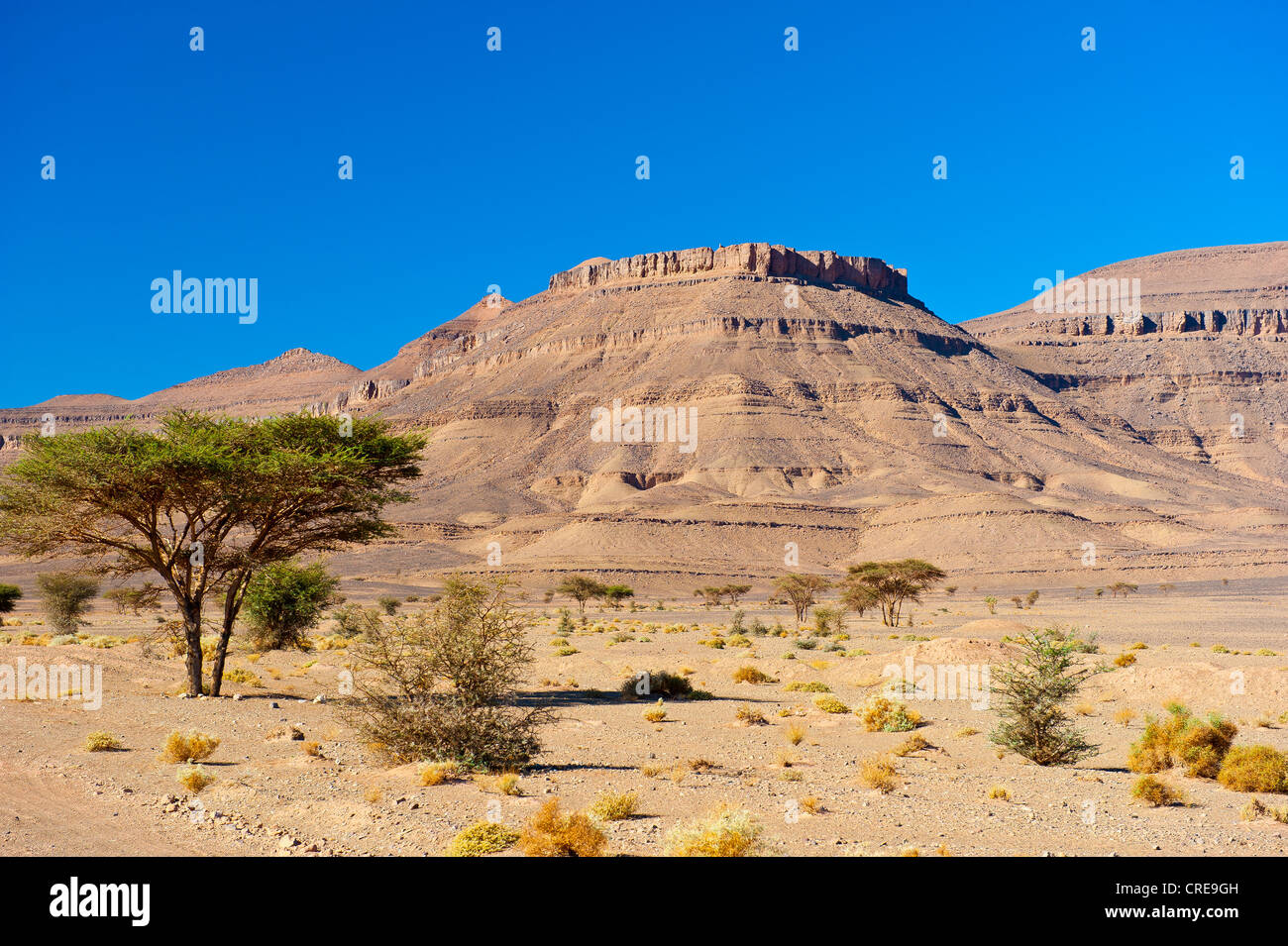 Acacias, thorny plants and a table mountain in a dry stone desert, Draa Valley, southern Morocco, Morocco, Africa - Stock Image