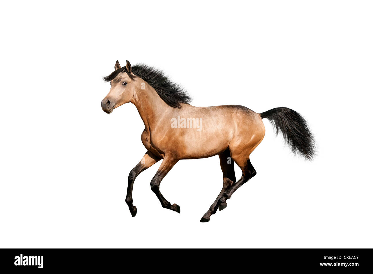 Beautiful dun stallion isolated over white - Stock Image