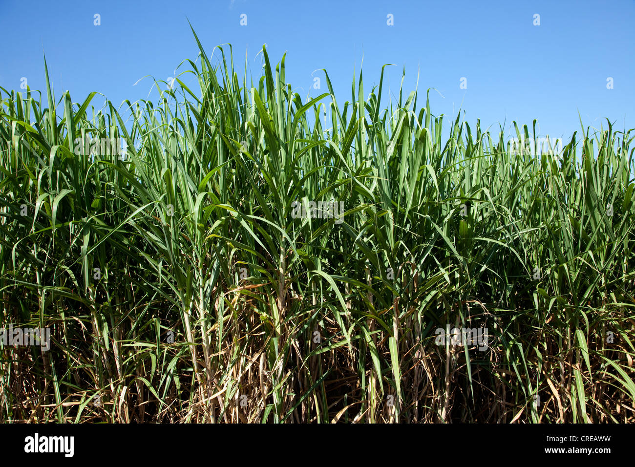 Sugar cane field near Saint-Pierre, La Reunion island, Indian Ocean - Stock Image