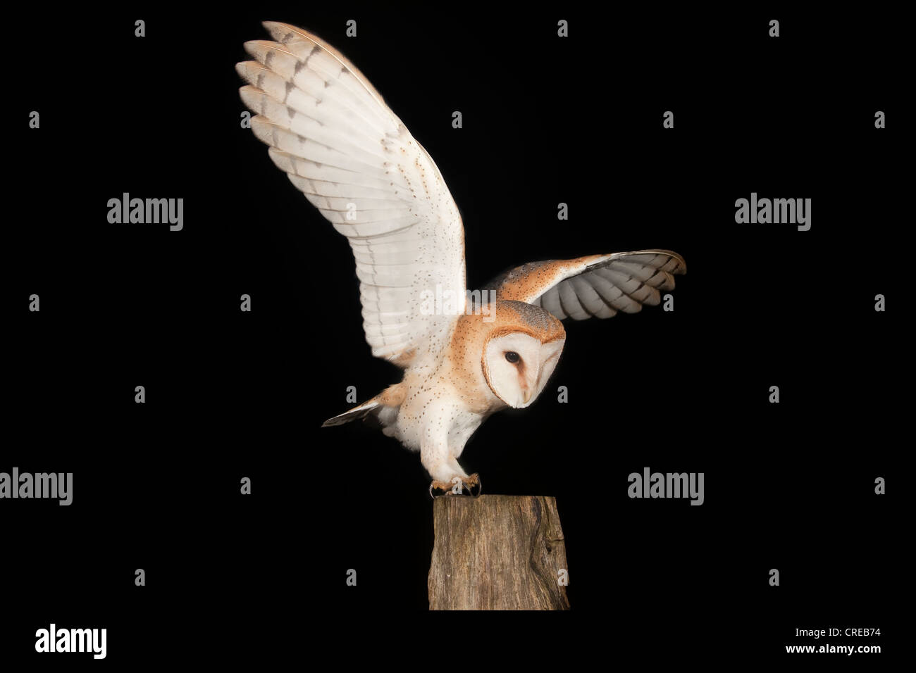 Barn Owl (Tyto alba) with a mouse on a fence post, Volcanic Eifel, Rhineland-Palatinate, Germany, Europe - Stock Image