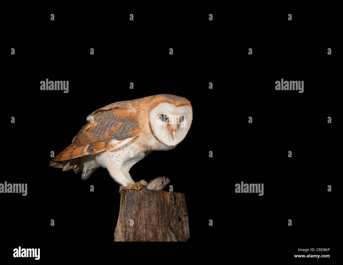 Barn Owl (Tyto alba) feeding on mouse on a fence post, Vulkaneifel district, Rhineland-Palatinate, Germany, Europe - Stock Image