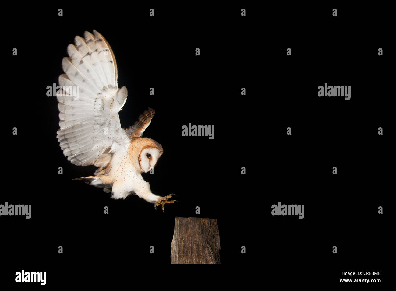Barn Owl (Tyto alba) during approach of a fence post, Vulkaneifel district, Rhineland-Palatinate, Germany, Europe - Stock Image