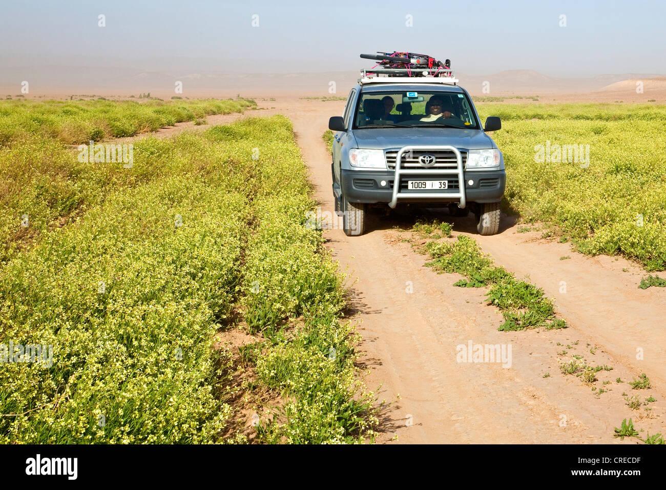 Toyota Landcruiser four wheel drive vehicle passing cassia plants on a gravel road, Erg Chegaga region, Sahara desert - Stock Image