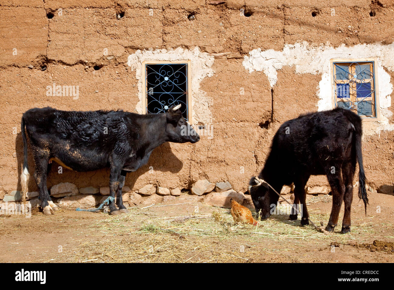 Cows standing outside a mud-brick house in Telouet, High Atlas Mountains near Ouarzazate, Morocco, Africa - Stock Image