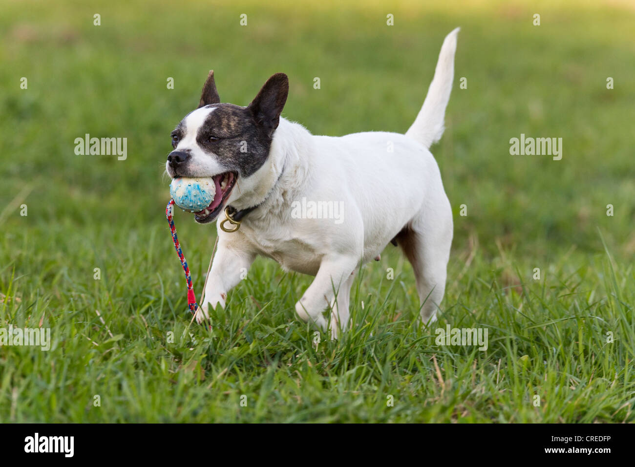 french bulldog jack russell mix mixed breed dog french bulldog and jack russell terrier 5723