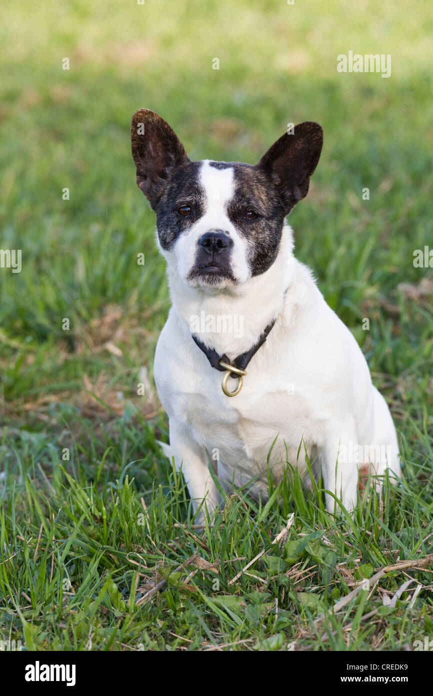 french bulldog jack russell mix mixed breed bitch french bulldog and jack russell terrier 2087