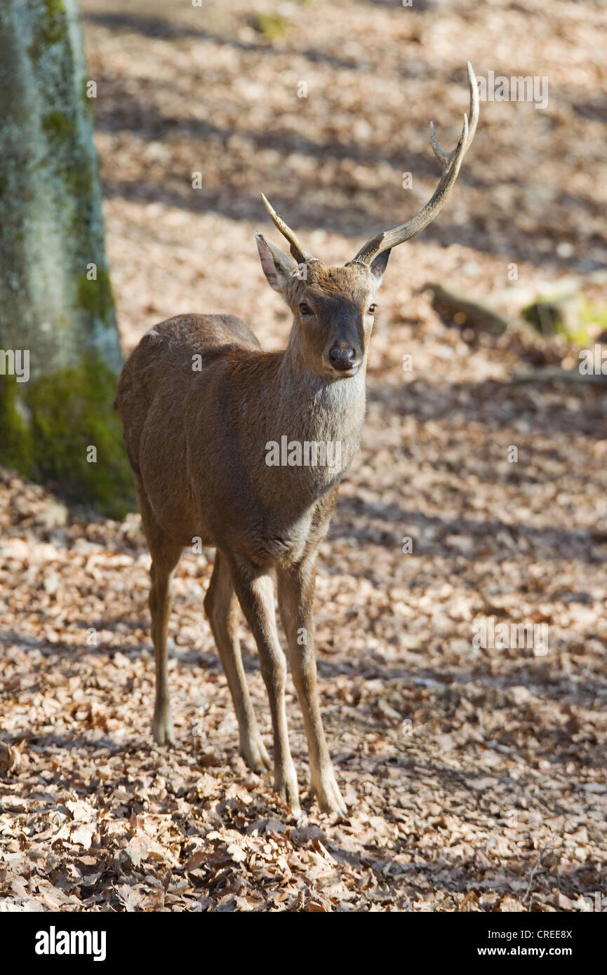 Sika deer (Cervus nippon) antlers with different lengths - Stock Image