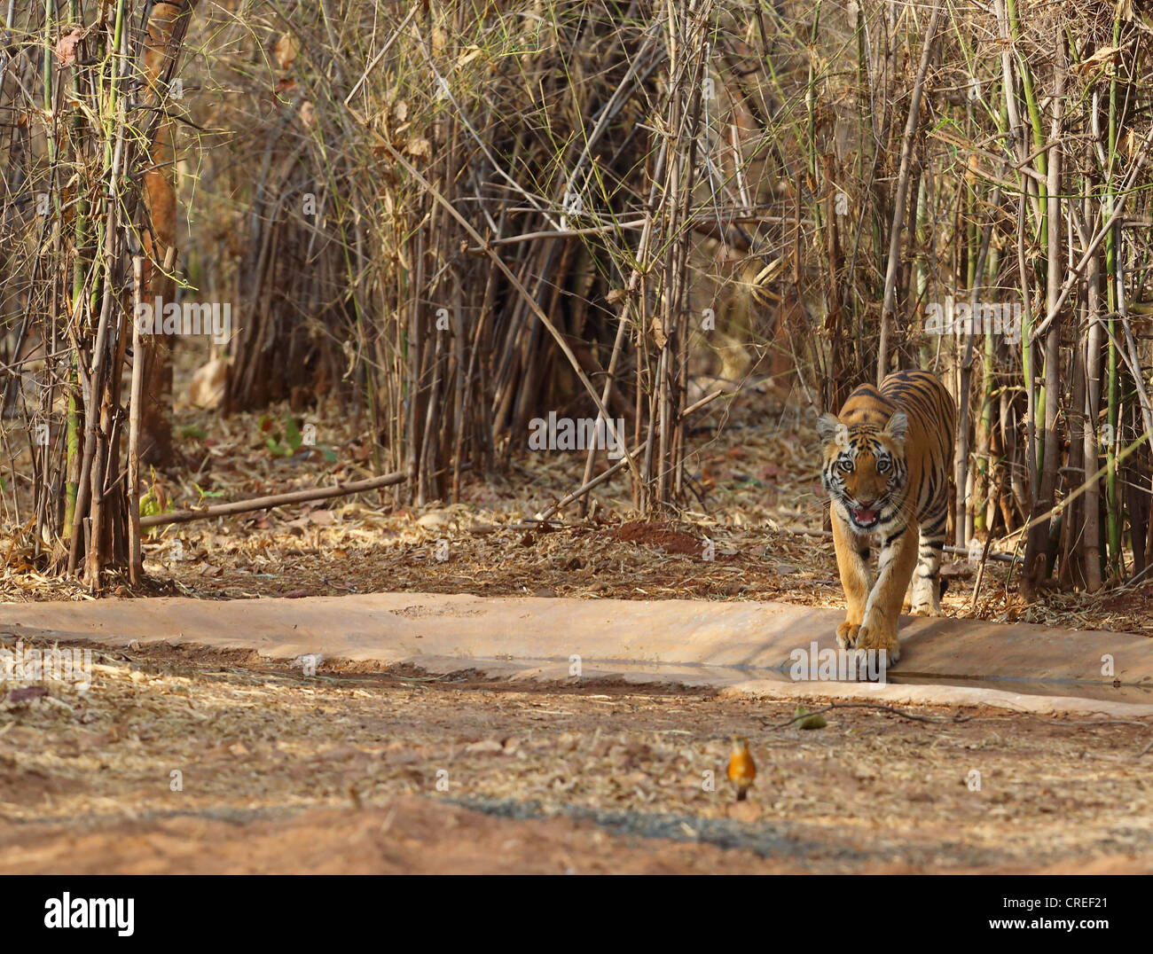 Tiger cub about to enter waterhole and staring at photographer in Tadoba jungle, India. - Stock Image