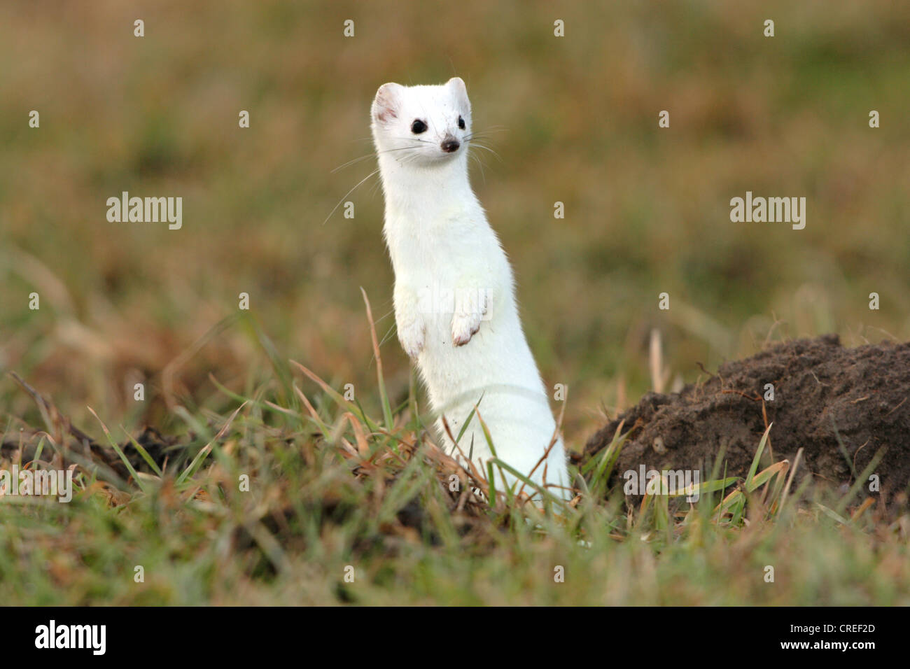 ermine, stoat (Mustela erminea), standing upright in winter fur, Germany, Bavaria - Stock Image