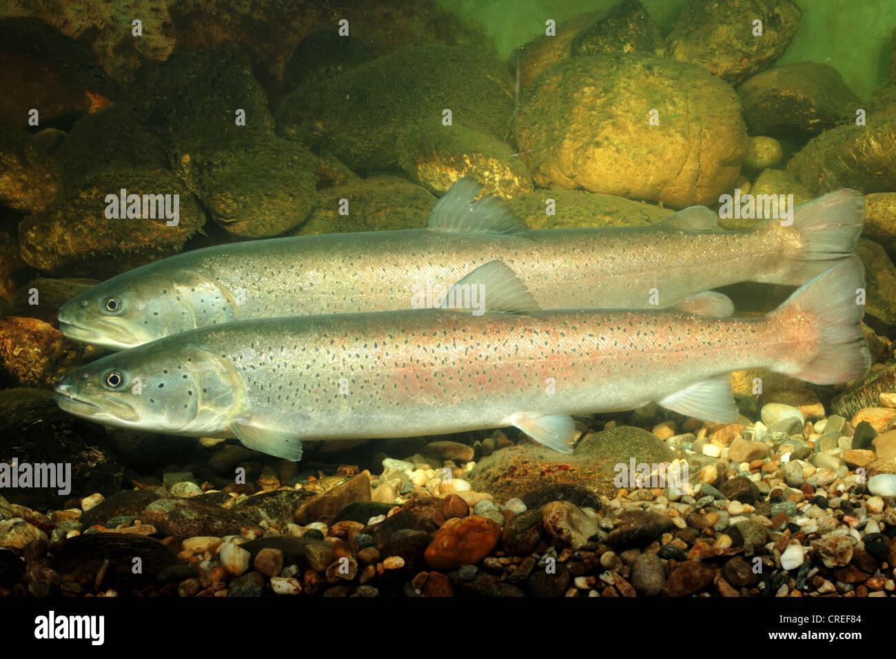 Danube salmon, huchen (Hucho hucho), couple, male in the foreground - Stock Image