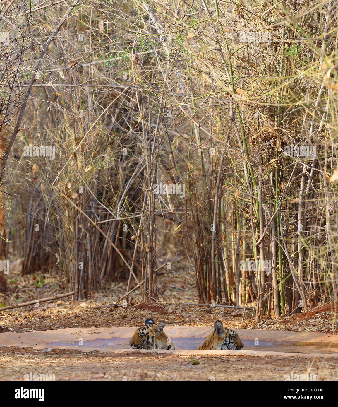 Two tiger cubs staring in opposite directions while cooling off in waterhole in Tadoba jungle, India. - Stock Image