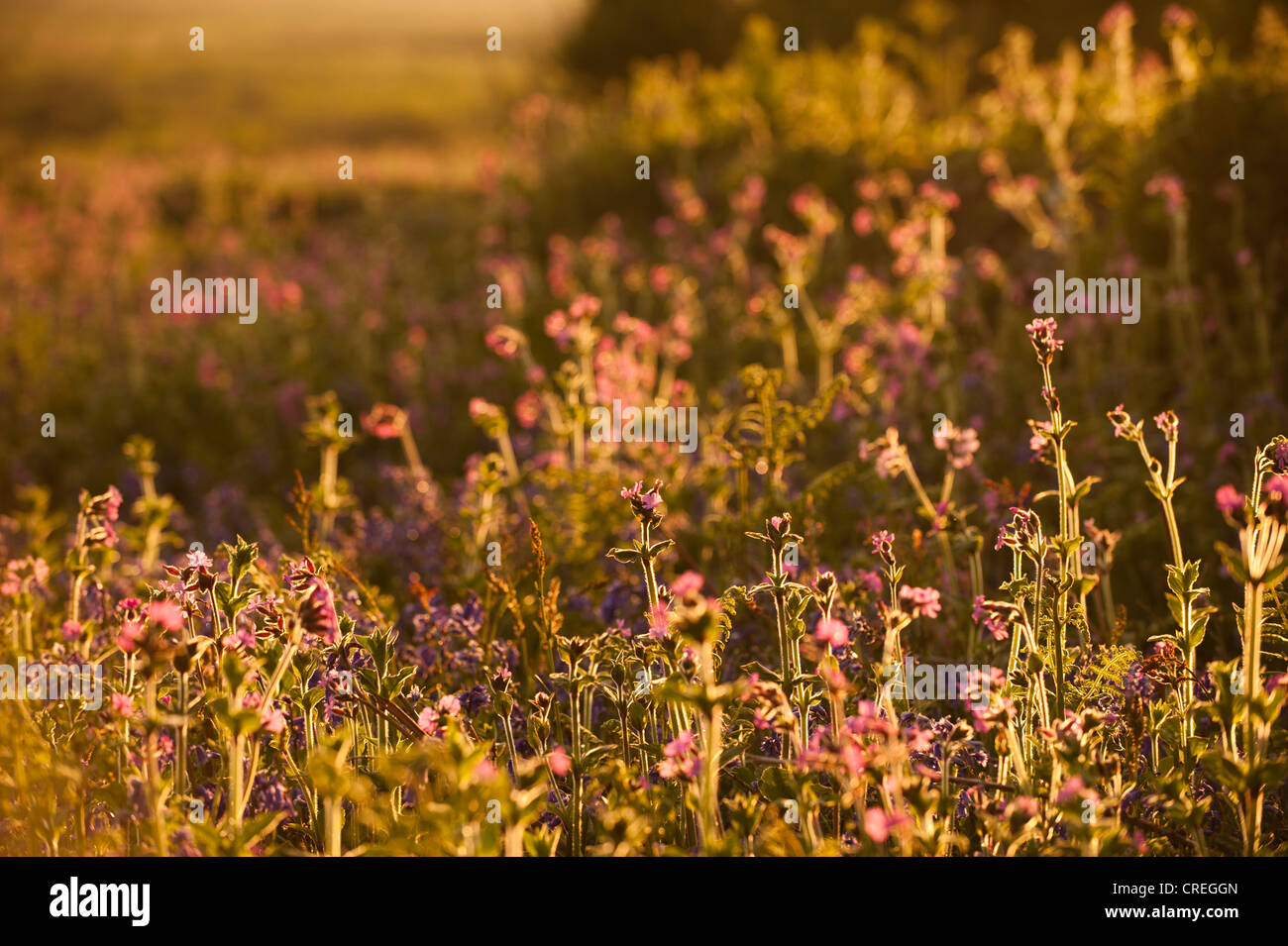 Red Campion, Silene dioica at dusk Stock Photo