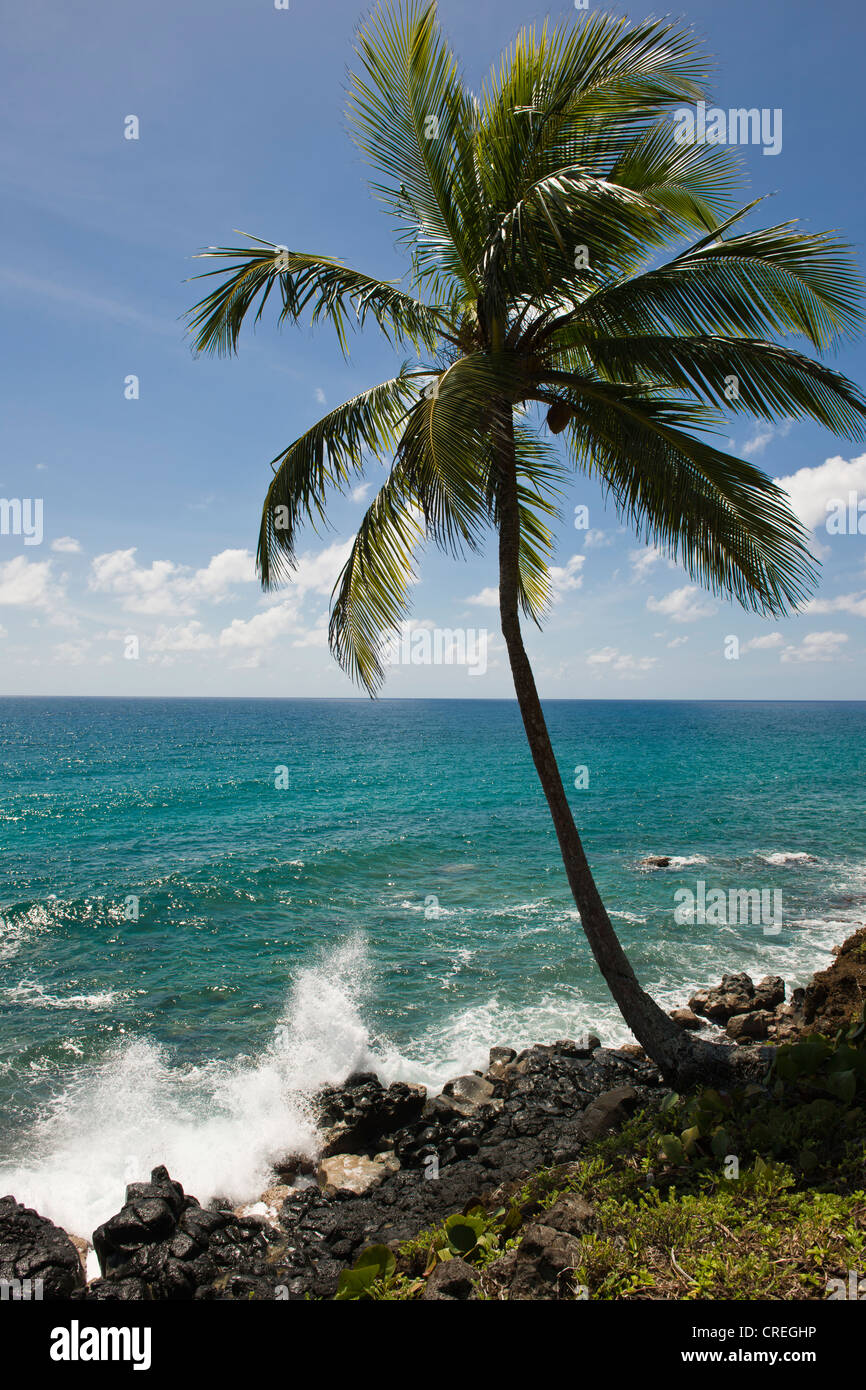 Coconut palm, Big Corn Island, Caribbean Sea, Nicaragua, Central America Stock Photo