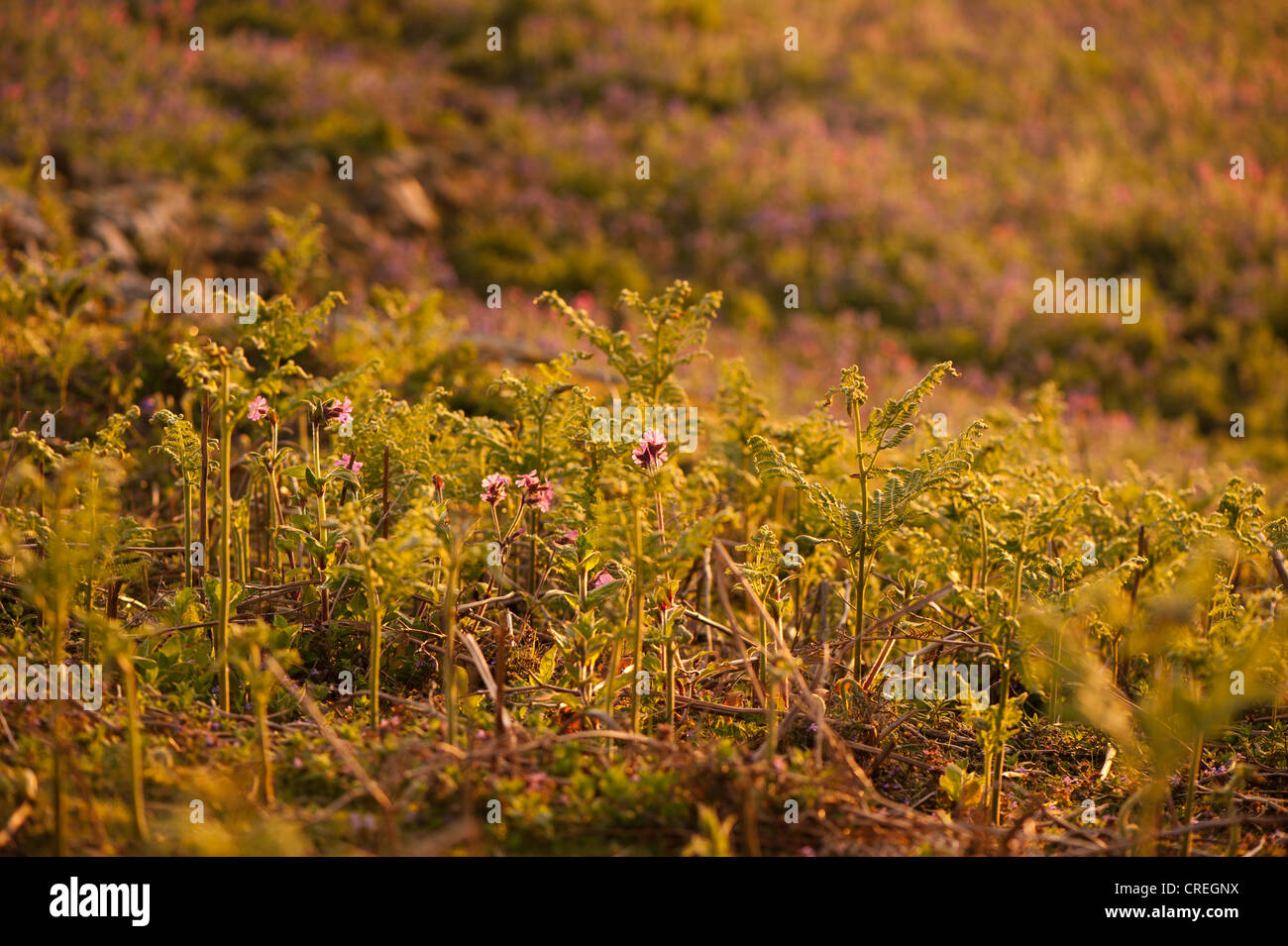 Red Campion, Silene dioica, and Bracken, Pteridium aquilinum. at dusk Stock Photo