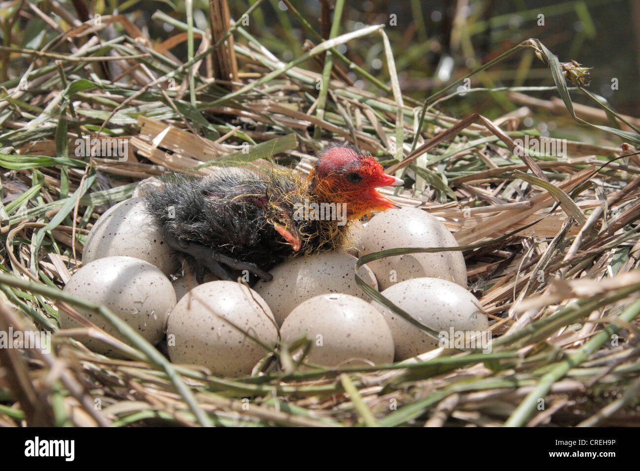 black coot (Fulica atra), nest with eggs and hatched chick - Stock Image